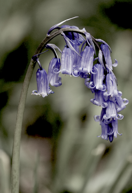 bluebels2