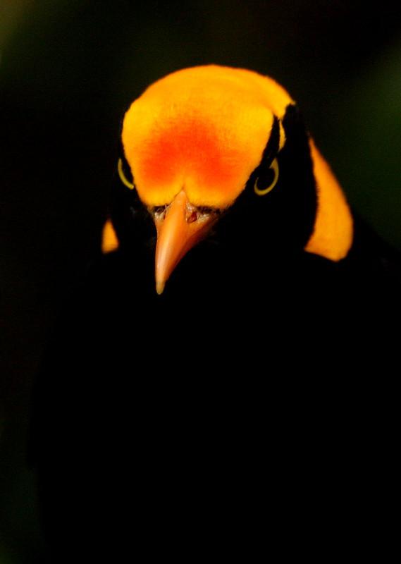 bowerbird